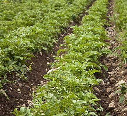 Stock Photo Organic potato Field, by Bink Creations
